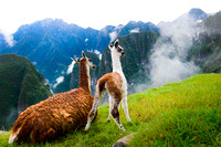 Machu PIcchu - Mother and Newborn Llama